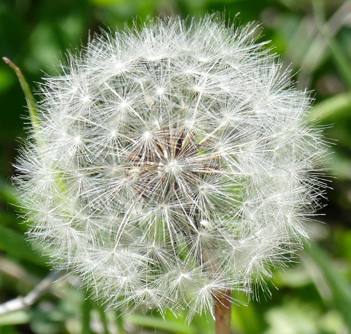 160502_dandelion